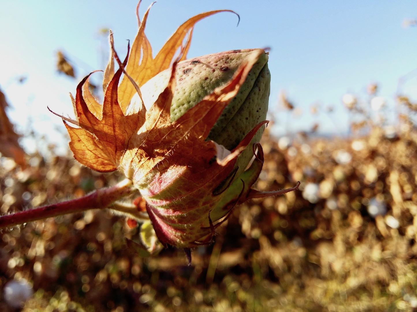 Culture de coton fleur de coton