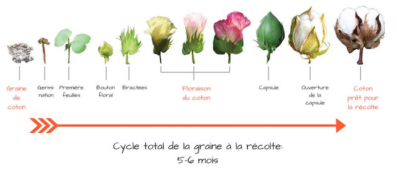 Culture du coton de la graine à la récolte floraison coton