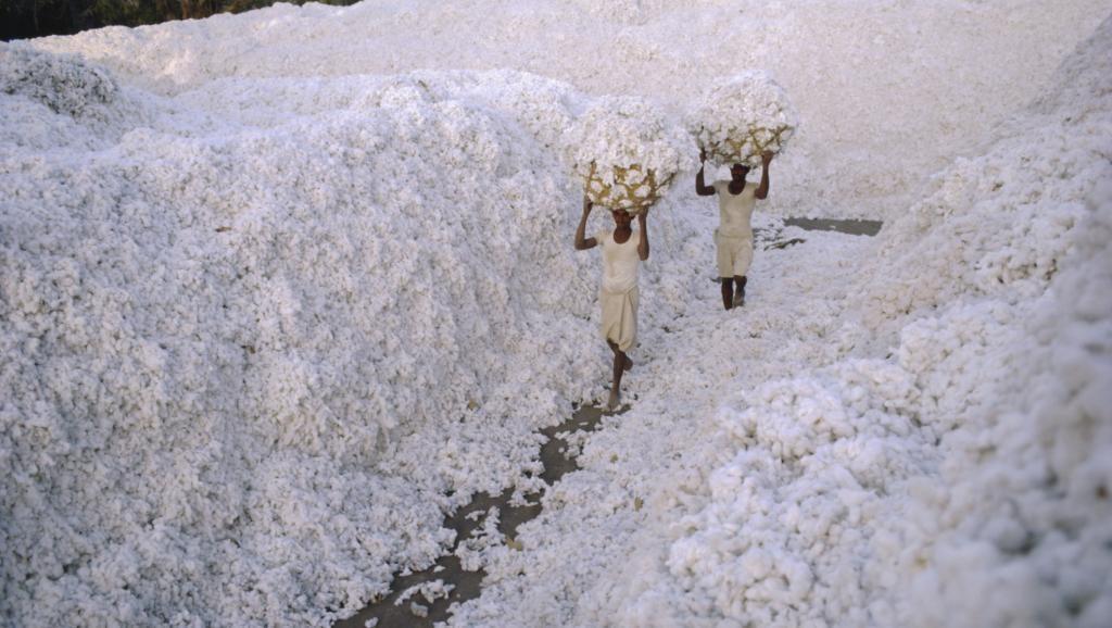Coton bio récolte